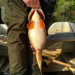 Perch with 41cm in girth